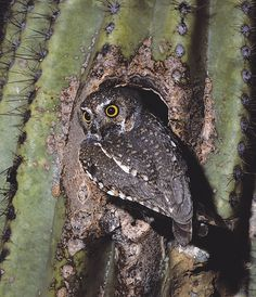 Elf Owl (Micrathene whitneyi)at nest hollow. Photo by Rick & Nora Bowers.