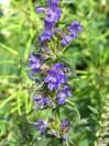 The Plant Thymes : Hyssop - Herb of the Week