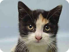 Brooklyn, NY - Domestic Shorthair. Meet SNUGGLE, a kitten for adoption. http://www.adoptapet.com/pet/17291429-brooklyn-new-york-kitten