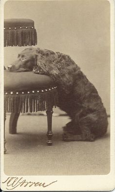 1880s cdv of dog with paws and head resting on fringed chair.  Photographer: Warren's Portraits,  465 Washington St., Boston. From bendale collection