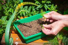 Krok za krokom: Jednoduchý návod, ako získať nové okrasné ihličnany z odrezkov - Pluska.sk Garden Hose, Outdoor, Outdoors, Outdoor Games, Outdoor Life