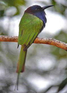 Purple-bearded Bee-eater, Sulawesi & Halmahera
