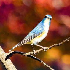 What the hell are you looking at?  #ルリビタキ#瑠璃鶲#redflankedbluetail #野鳥#Wildbird#bird#birdwatching #動物#animal #かわいい#kawaii#cute #風景#自然#景色#picture#landscape#nature #東京#日本#tokyo#japan#love#loves_nippon #写真好きの人と繋がりたい