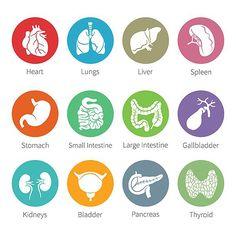 Human internal organs iconset. Human Icons. $5.00
