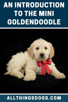 Love the temperament and personality of the Goldendoodle, but, unsure if their large size will fit in your family home? You should know about their smaller, more teddy bear-like dog siblings, the Mini Goldendoodle! Read our guide to learn more about them.  #minigoldendoodle #miniaturegoldendoodle #goldendoodlemini Goldendoodle Miniature, Miniature Dog Breeds, Goldendoodle Grooming, Mini Goldendoodle Puppies, Labradoodle, Low Shedding Dogs, Operant Conditioning, Teddy Bear Dog