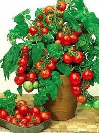 Growing tomato plants from seeds is not that difficult and it is extremely rewarding. Phenomenal Growing Tomatoes from Seeds Ideas. Growing Tomatoes Indoors, Growing Tomatoes From Seed, Growing Tomato Plants, Varieties Of Tomatoes, Easy Plants To Grow, Growing Tomatoes In Containers, Growing Vegetables, Grow Tomatoes, Tomato Garden