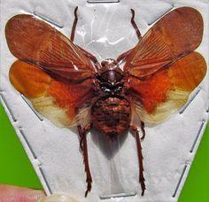Lot of 10 Brown Orange Wing Planthopper Lanternfly Scamandra sanguiflua FAST USA