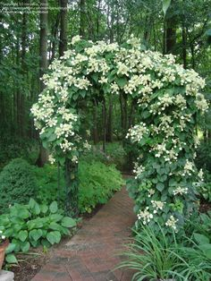 Climbing hydrangea arbor for the shade garden.