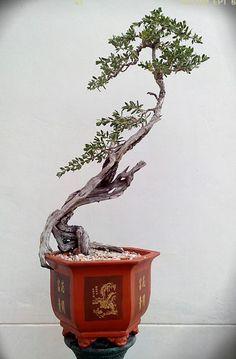 84 Best Driftwood Bonsai Images Bonsai Trees Bonsai Garden