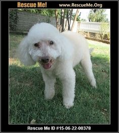 Rescue Me ID: 15-06-22-00378Arnie (male)  Bichon Frise Mix    Age: Senior  Compatibility:	 Good with Most Dogs, Good with Most Cats  Personality:	 Very Low Energy, Very Submissive  Health:	 Neutered, Vaccinations Current, Arthritis       $50 adoption donation Sweet 14 year old Arnie was turned in to the shelter after his owner passed away.