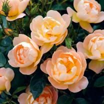 Beautiful English rose with a poetic name: The Lark Arising.
