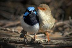 Superb fairy-wrens sing tunes to their eggs that contain unique notes, which act as familial passwords. Embryonic chicks are able to learn these notes and incorporate them into their begging calls after they hatch! Photo © birdsaspoetry/flickr