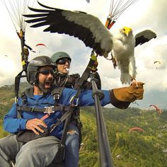 Say hi to Bob, a rescued Egyptian vulture now making a living eating buffalo meat out of the hands of paragliders in the thermals above Pokhara, Nepal. With @mattyboo11! #parahawking #goprooftheday