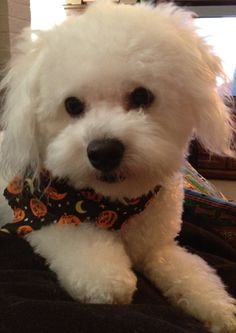Lil' baby Bichon all dressed up for Halloween!