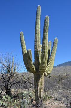 Spent the afternoon at Saguaro National Park (pronounced Sa-WAH-ro). Saguaro is the name of the cactus which grows there. They only grow in the Sonoran desert (southern Arizona / NW Mexico), and live to about 150-200 years old. They dont flower until theyre ~35 years, and dont start branching until theyre ~50-70 years old.