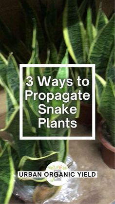 Snake Plant Propagation, Sansevieria Plant, Plant Cuttings, Indoor Garden, Garden Plants, House Plants, Growing Succulents, Planting Flowers, Mother In Law Plant