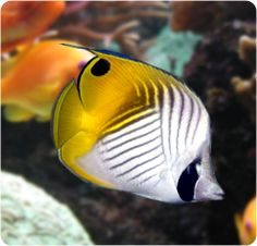 Auriga Butterflyfish, Threadfin Butterflyfish - Chaetodon auriga