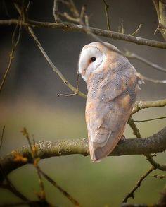 Barn Owl - looking over his shoulder at me! by Mazzlo, via Flickr
