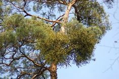Bunch of mistletoe in pine treetop Music Files, Mistletoe, Pine, Photo Editing, Stock Photos, Fine Art, Creative, Plants, Pictures
