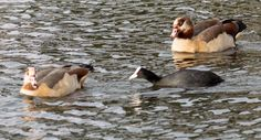 A little Coot taking on an Egyptian Goose whilst another looks on - 21 Dec 2015