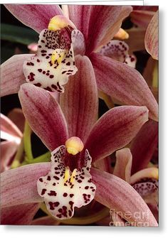 Red Cymbidium Orchid Greeting Card by Craig Lovell