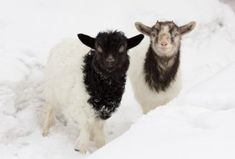 It's freezing! Goats get cold, too. But when do they need extra winter protection from predators and the elements? Feeding Goats, Raising Goats, Goat Hoof Trimming, Types Of Goats, Nigerian Dwarf Goats, Goat Barn, African Origins, Goat Farming, Baby Goats