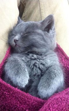 Russian Blue Cats Kittens I can't help but share this! Cute Cats And Kittens, I Love Cats, Kittens Cutest, Blue Cats, Grey Cats, Grey Kitten, White Cats, Angora Cats, Photo Chat