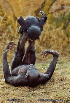 A chimpanzee and her baby goofing around.