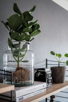 Water Plants, the easy-care indoor plant. Everything about the new trend, how . - - Water Plants, the easy-care indoor plant. All about the new trend of how to keep a plant in the glass and where to buy Water Plants online! Water Plants Indoor, Easy Care Indoor Plants, Aquatic Plants, Indoor Garden, Easy Garden, Garden Ideas, Plant In Water, Hydroponic Plants, Hydroponics