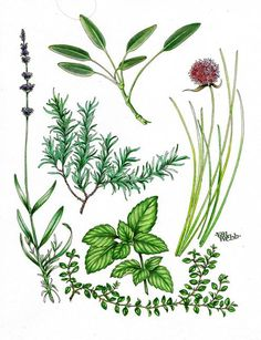 New online course: Draw & Paint Six Culinary Herbs begins Jan. 7, 2013