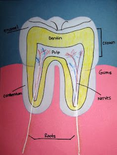 Dental Health Month - Learn about the parts of a tooth and make this fun diagram.