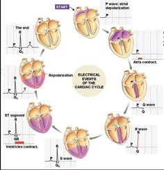Electrical events of the cardiac cycle and their corresponding graph on the EKG. needed this the other day for my patient
