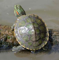 Red eared slider turtles were brought to Africa from North America also for the exotic pet trade. Baby Red Eared Slider, Red Eared Slider Turtle, Turtle Care, Pet Turtle, Turtle Pond, Turtle Swimming, Cute Baby Turtles, Turtle Facts, Turtle Habitat