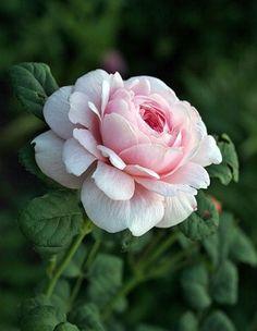 Fruit Garden Art Ideas For 2019 Amazing Flowers, Beautiful Roses, Pink Flowers, Beautiful Flowers, Purple Roses, Romantic Flowers, Plant Tattoo, Peony Flower, Peony Rose
