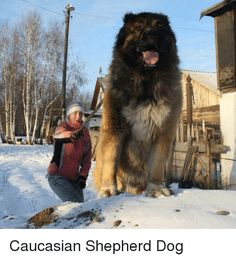 Memes, Caucasian, and 🤖: Caucasian Shepherd Dog Massive Dogs, Huge Dogs, Giant Dogs, All Breeds Of Dogs, Large Dog Breeds, Russian Bear Dog, Worlds Largest Dog, Koolie Dog, Bear Dog Breed