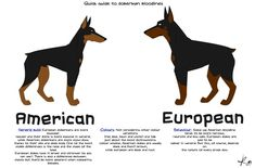 Doberman difference...we are having european dobermanns