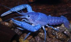 """Crayfish have blue variety popular in the aquarium trade; called """"electric blue"""" crayfish Crayfish have 2 antennae and eyes on the outside of their head. Freshwater Lobster, Freshwater Aquarium Fish, Underwater Creatures, Ocean Creatures, Rare Animals, Strange Animals, Cichlids, Tropical Fish, Tropical Gardens"""