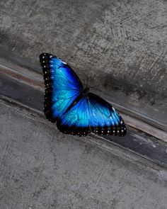 erinthepirate:  The blue morpho butterfly