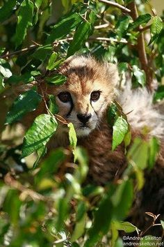"""Two month old Cheetah cub hiding in the Masai Mara. i defy you not to say """"Aaaah""""! Nature Animals, Animals And Pets, Wild Animals, Cheetah Cubs, Tiger Cubs, Tiger Tiger, Bengal Tiger, Big Cats, Cool Cats"""