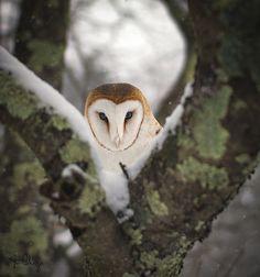 Barn Owl in Winter ~ Photo by jccpics1973 on Flickr .... DSC05575strangerbbw .... Beautiful Birds, Animals Beautiful, Tyto Alba, Funny Owls, Owl Pictures, Wise Owl, Snowy Owl, Owl Art, Baby Art