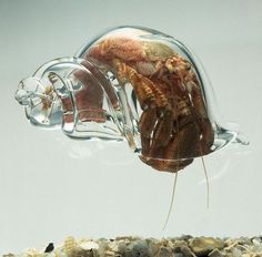 Hermit crab with glass shell
