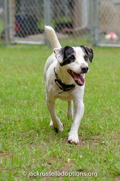 Petey, Adoptable Terrier | Georgia Jack Russell Rescue, Adoption & Sanctuary