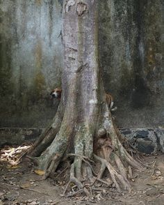 To afraid to approach us, these two dogs hid behind their tree and observed every step we made until we were at a safe distance. Animal SOS Sri Lanka. © Maikel Kersbergen