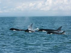 T137s family mid exhale. T036As were with them as well. Photo: Kathryn Taylor Date: October 26, 2014