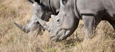 Rhinos are critically endangered animals that look like they haven't changed much since prehistoric times (though of course they tended to be a lot woollier back then!). Although poached nearly to extinction, conservation efforts and habitat protection are starting to make a small difference to the fate of these magnificent animals.