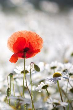 Beautiful!  Summer Poppy by Mark Crossfield