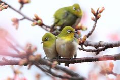 Japanese White-eye(Zosterops japonicus)メジロ