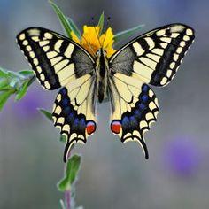 Linda borboleta.
