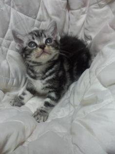 里親さんブログアメリカンショートヘアの子猫ちゃん - http://iyaiyahajimeru.jp/cat/archives/66840