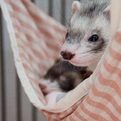 This just in - Area Ferret Can't Decide If He Wants to Nap Now or Later